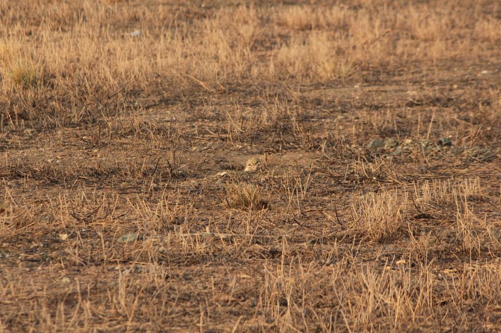 Burroghing owl